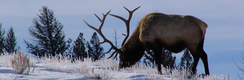 Winter-Elk-Ken08